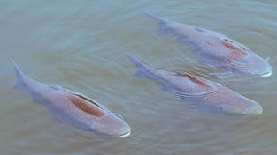 Kdo ryby usmrcuje, kuchá a porcuje, popřípadě jinak upravuje, musí mít na tomto místě také dobře čistitelnou a dezinfikovatelnou pracovní desku, nože, paličku na omračování ryb a stěrky, dostatečný přívod pitné vody k omývání pultu, odvod odpadní vody do