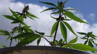 Kontroverznost marihuany je dosti zvláštní, protože například alkohol, nebo cigarety jsou veřejností vnímány poměrně neutrálně (i když názory se časem mění), ale marihuana, i když není využívána jako droga, vyvolává neustále emoce, Foto:SXC