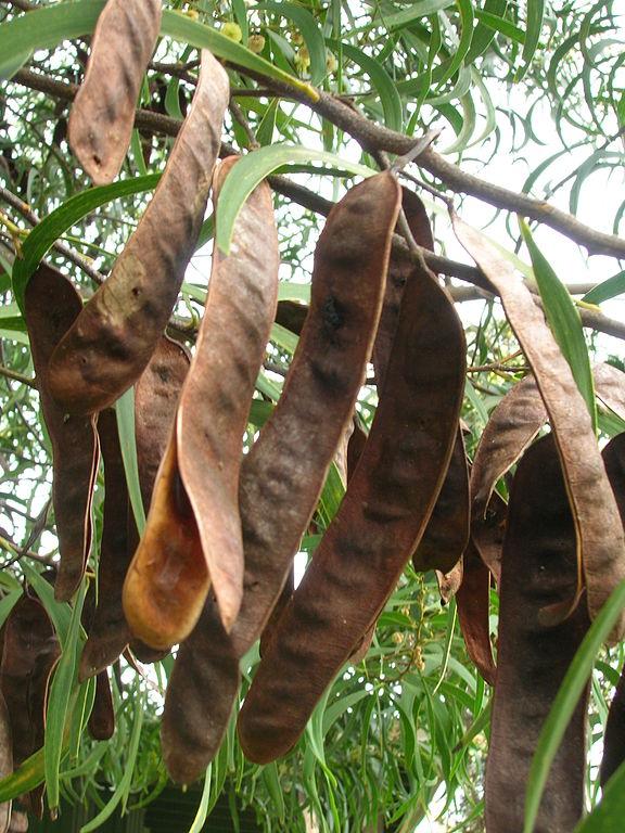 Semena akácie koa
