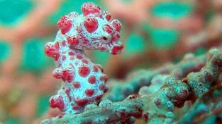 Hippocampus bargibanti vypadá jako korál, na kterém žije