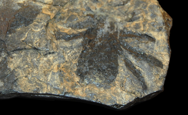 Zkamenělina prehistorického pavouka