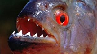 "V domorodém jazyce tupí znamená piraňa ""zubatou rybu"""
