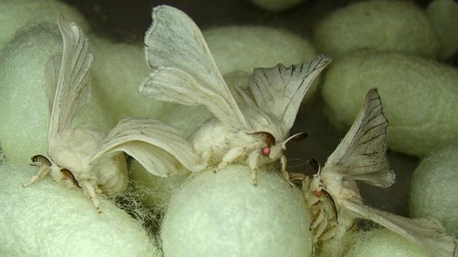 Geneticky modifikované můry bource morušového