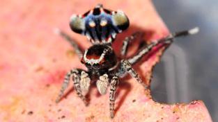 Maratus harrisi alias pavouk paví