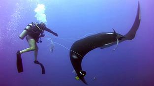 Manta obrovská patří mezi ty mírumilovnější obyvatele světových oceánů