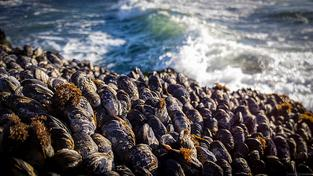Mušle tvoří kolonie, které společně lépe odolávají mořskému prostředí
