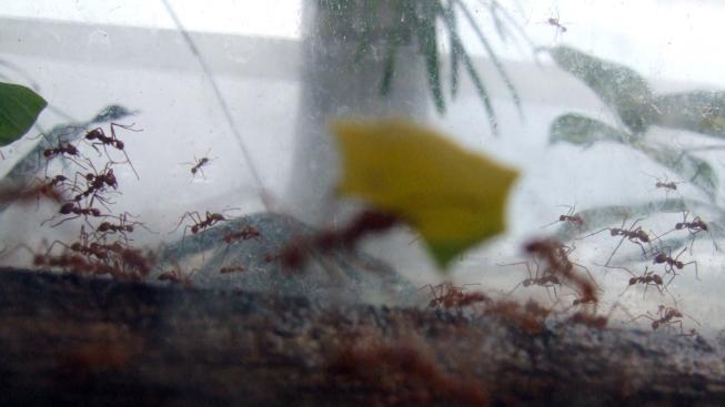 Houbaření je vášní, kterou s námi jihoameričtí mravenci nadšeně sdílejí