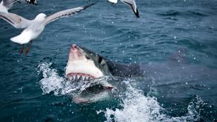 Pohled na ně budí hrůzu, ale pověst žraloků bílých neodpovídá jejich skutečné nátuře