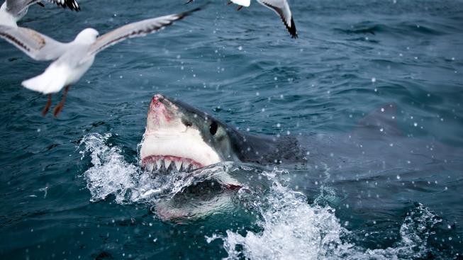 84f51dfaa81 Žraloka z Čelistí zachraňuje před vyhynutím moderní technologie ...