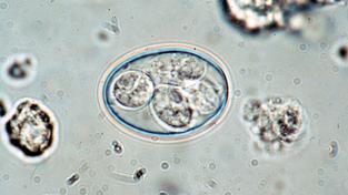 Parazit ve stadiu, kdy je vylučován kočkovitými šelmami
