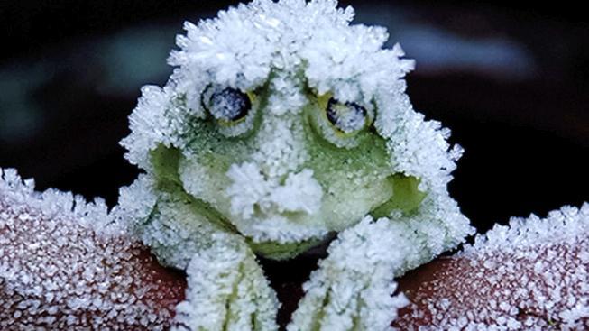 Zmrzlé aljašské žáby nejsou tím, kým se zdají být