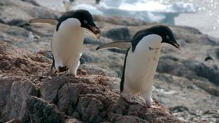 Dvojice tučňáků kroužkových sbírá kamínky pro hnízdo