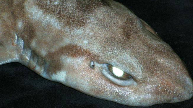Cephaloscyllium ventriosum aneb máčka kalifornská