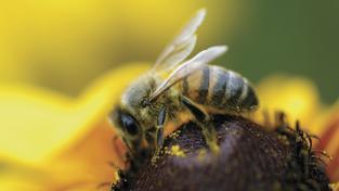 Divoká včela opyluje víc květin než včela medonosná