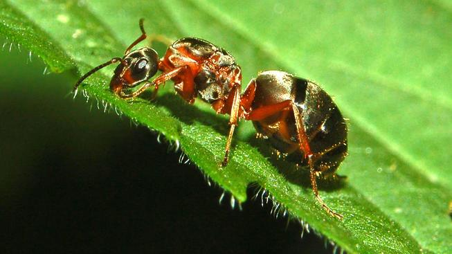 Mravenec luční