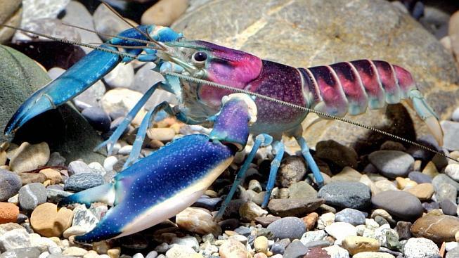Zbarvenější bývají samečci, jejichž těla dorůstají až 10 centimetrů