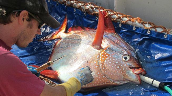 Takhle se u ryby měřila svalová teplota
