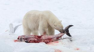 """Lední medvěd si místo obvyklé tulení pochoutky """"zvolilů delfína"""
