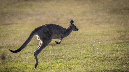 Naprostá většina klokanů jsou leváci, zjistili vědci