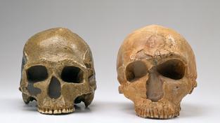 Lebky druhu Homo Sapiens a neandrtálce