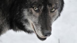 Jakým způsobem figuruje tajmyrský vlk v rozdělení vlčích a psích vývojových větví?