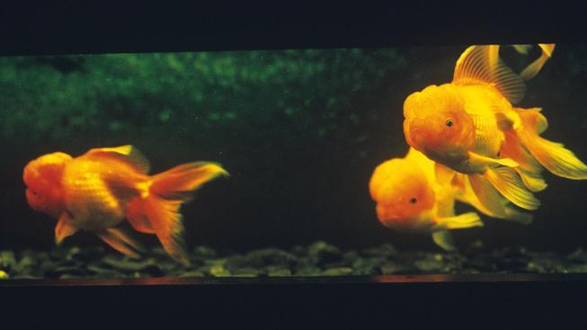 Zlaté rybky jsou pro kanadskou přírodu nebezpečné. Ilustrační foto