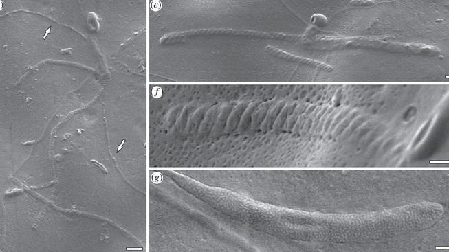 Zkamenělá spermie je stará 50 milionů let