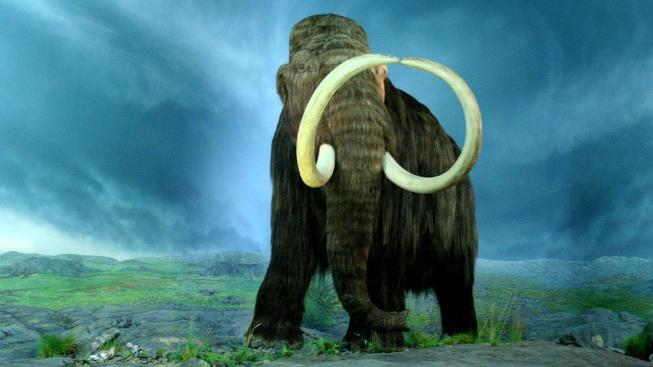 """Mamuti ve skutečnosti nebyli """"mamutí"""", ale dosahovali velikosti běžných slonů indických"""