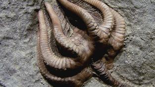 Přisedlí živočichové tvořili před velkým permským vymíráním většinu mořského života, ale po hromadné extinkci jejich podíl výrazně klesl. Lilijice jako tato na obrázku vymírání téměř nepřežily, ale hrstka přeživších zástupců katastrofu překonala a tato skupina přisedlých ostnokožců (mezi něž patří například známé ježovky či hvězdice) existuje dodnes
