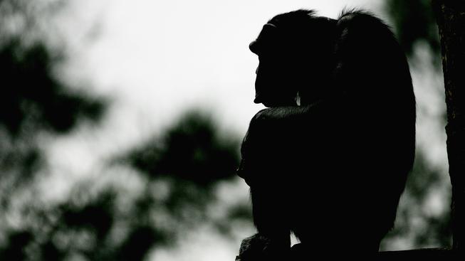 Někteří šimpanzi trpí depresemi jako lidé. Ilustrační foto