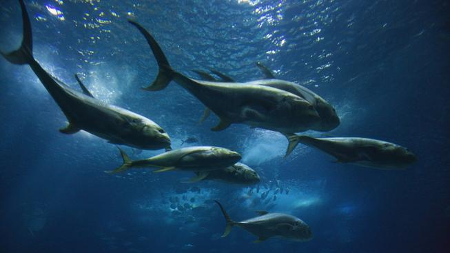 Některé druhy mořských živočichů vymírají rychleji díky intenzivnímu rybolovu. Ilustrační foto