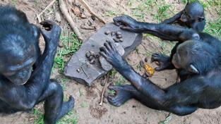 Šimpanzi užívají kamenné nástroje především k rozbíjení tvrdých ořechů