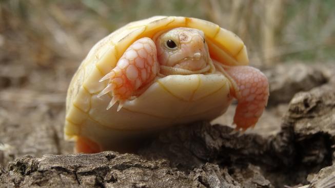 Albíni u želvy zelenavé se rodí v jednom případě z milionu!