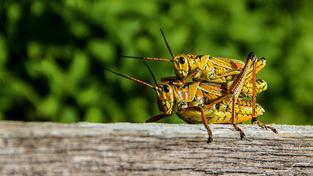 Samečky cvrčků sice věno požadují, nejsou ale  krvežíznivé jako jiné druhy