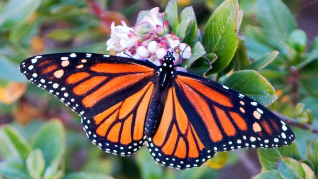 Kvůli suchu se Kaliforňané vracejí k původním rostlinám, zachraňují tím populaci motýlů monarchů