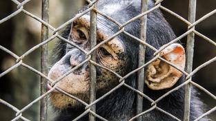 Lékařský výzkum na šimpanzech už prý není potřeba (ilustrační snímek)