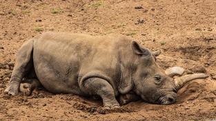 Samice nosorožce bílého Nola