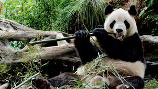 Pandy velké Čína zoologickým zahradám zapůjčuje jako gesto vstřícnosti. Jejich chov je velmi finančně náročný, zahradám se ale vyplatí