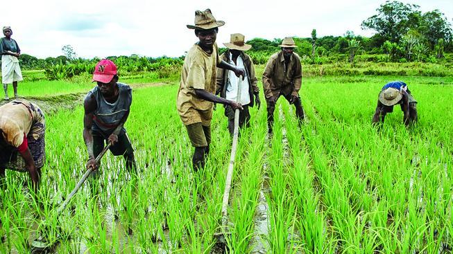 Madagaskarští farmáři na rýžovém poli