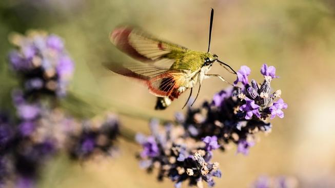 Můry bezpečně poznají, do kterého květu se vejde jejich sosák