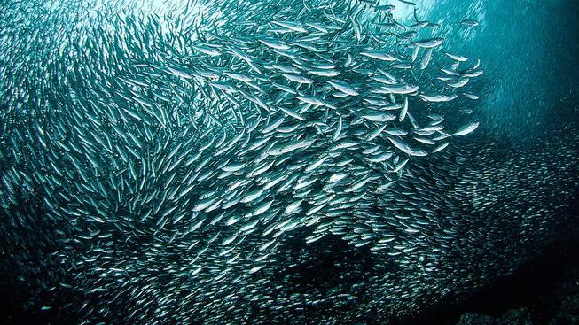 Ilustrační sardinky
