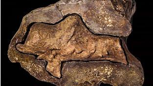 Dinosauří lebka obsahující zkamenělé zbytky mozku