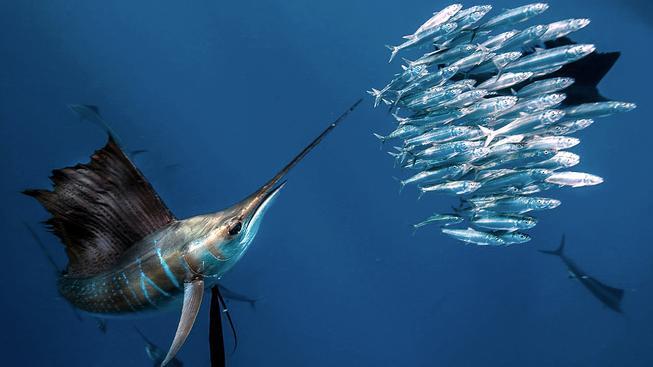 Plachetníci na lovu sardinek