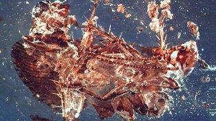Šváb v jantaru starém 130 milionů let