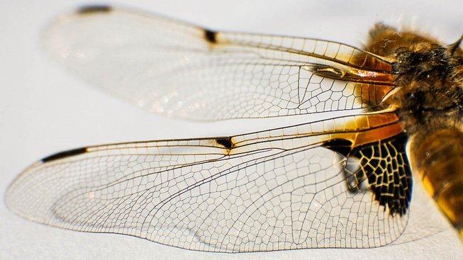 Křídla vážky. Ilustrační snímek