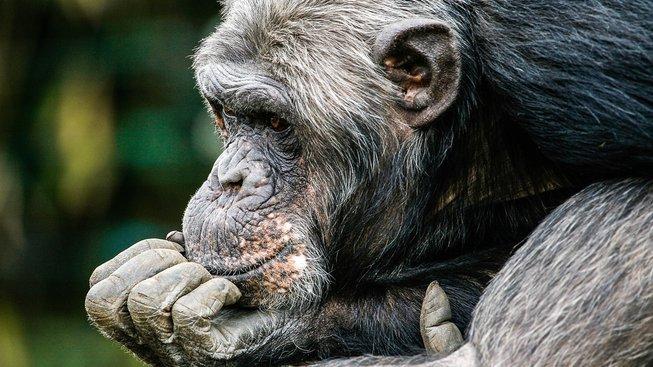 Umí opice číst myšlenky?