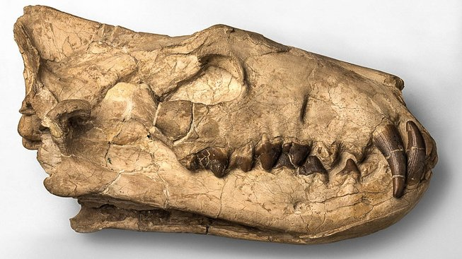 Fosilie čelisti hyaenodona