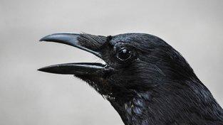 Na ptáky jsme krátký: Krkavci bezpečně poznají podvodníka i měsíc po činu