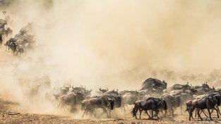 Oběť za ráj na Zemi? Africké Serengeti udržují v chodu tisíce utopených pakoňů