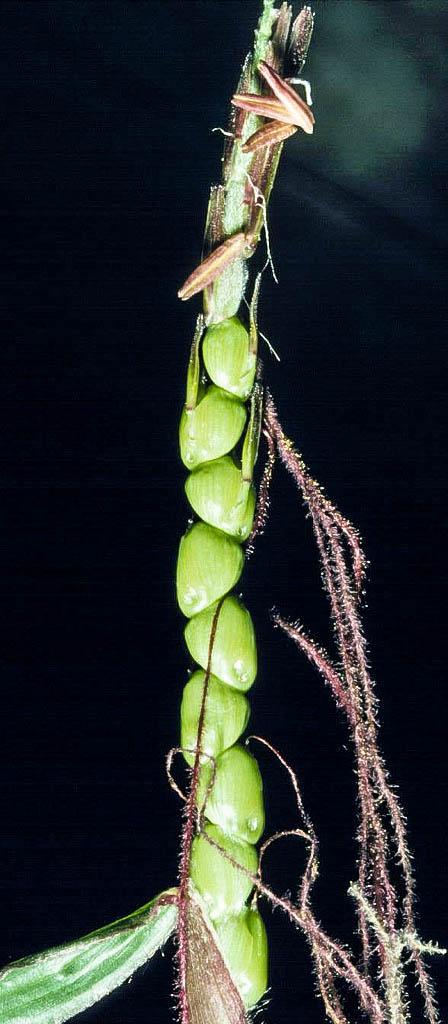 Zea diploperennis